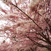 <H3>Spring Arrives</H3> Cherry Blossoms at High Park, Downtown Toronto