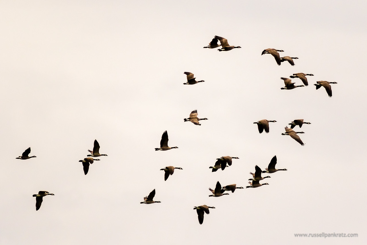 Canadian geese leaving their nighttime roost along the Colorado River in the morning.