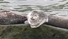 Seal, La Jolla