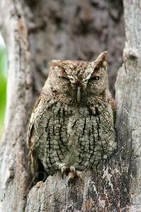 Tropical Screech Owl_6347