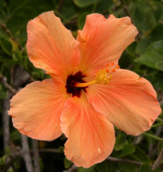 Peach Hibiscus Maui Hyatt