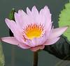 Water Lily, Sheraton Maui