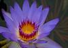Water lily Sheraton Maui