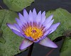 Another water lily at the Sheraton Maui