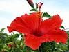 Red Hibiscus Molokai