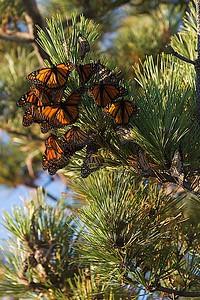 Butterflies_0936