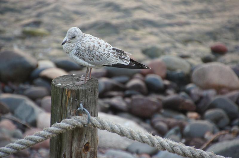 Gull at Bluefin