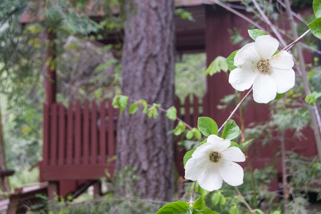 Dogwood blooming along the El Dorado cabin