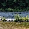 Joe Pye Weed growing in an unusual place along the creek.