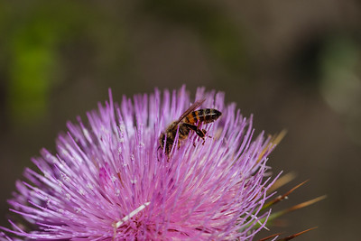 Busy pollinating the thistle