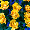Yellow Gold and Blue<br /> Beautiful Freeman Tulips with interspersed bluebells at the RoozenGaarde.  Nikon D800 with 60mm Macro