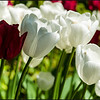 Red and White<br /> Some tulips outside the gardens.