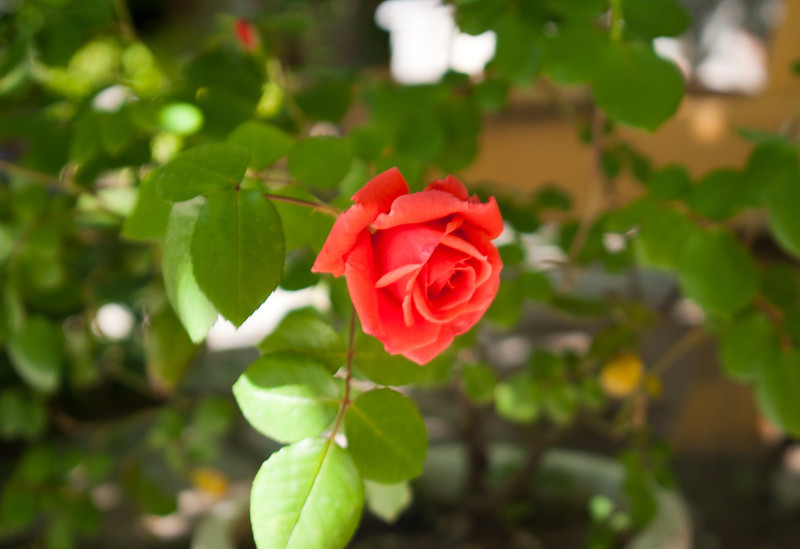 Rose on the grounds of the Virgin Mary.
