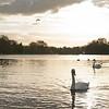 Swans in Hyde Park, London.
