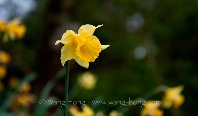 Daffodils on Isle of Skye off the northwestern highlands in Scotland.