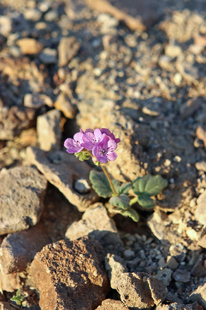 A primrose-like flower along the Gower Gulch Trail