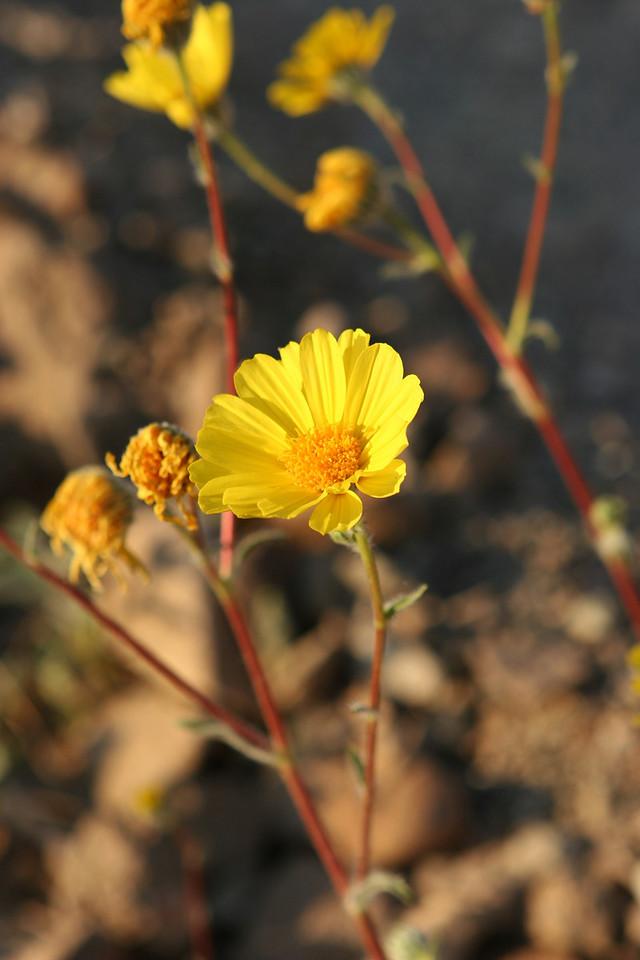 Desert Gold along the Gower Gulch Trail