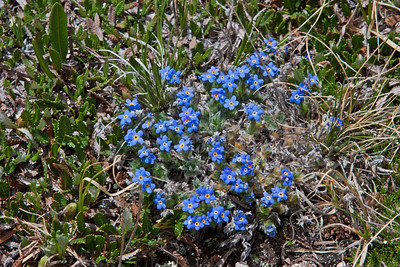 St. Vrain Mountain Trail, above tree line alpine meadow. Alpine Forget-me-not - Eritrichium elongatum.