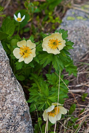 St. Vrain Mountain Trail, below tree line. Globeflower - Trollius laxus.