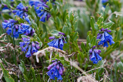 St. Vrain Mountain Trail, protected spot around tree line. One of several types of Mountain Bluebell(?) - Mertensia alpina(?)