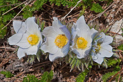 St. Vrain Mountain Trail, above tree line alpine meadow. Pasque Flower - Anemone patens.