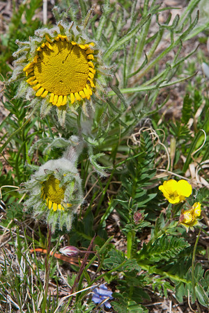 St. Vrain Mountain Trail, above tree line alpine meadow. Alpine sunflower - Hymenoxys grandiflora.