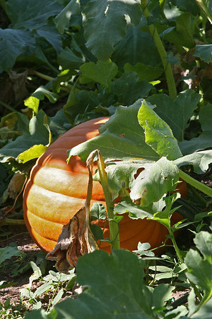 Sept 10, 2011, ordinary pumpkin, Montana State University experimental hop farm, Bozeman MT, Day 2.