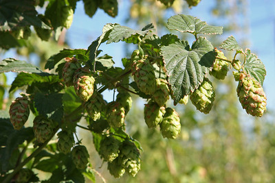 Sept 10, 2011, probably Cascade hops, Montana State University experimental hop farm, Bozeman MT, Day 2.