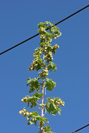 Sept 10, 2011, Cascade hops, Montana State University experimental hop farm, Bozeman MT, Day 2.