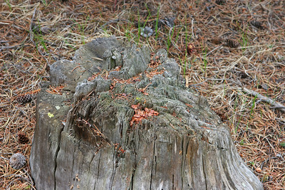 Mitchell Loop Trail, the entire area was cut at least 75 years ago and subsequently burned. This stump is typical - appears to be party sawn & partly cut with an ax.