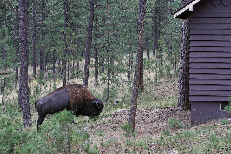 September 19, 2017 - Custer State Park. Custer State Park, Legion Lake cabins. Early morning visitor.