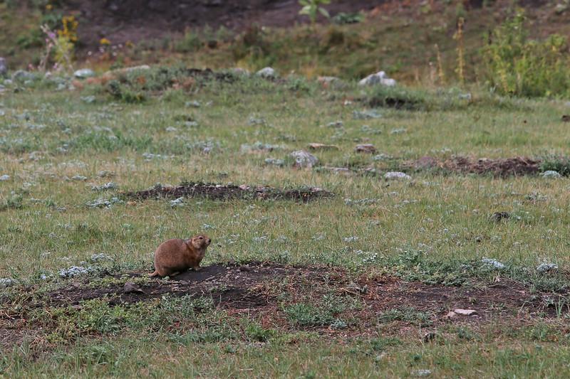 September 17, 2017 - Custer State Park, Wildlife Loop Road. Prairie Dog.