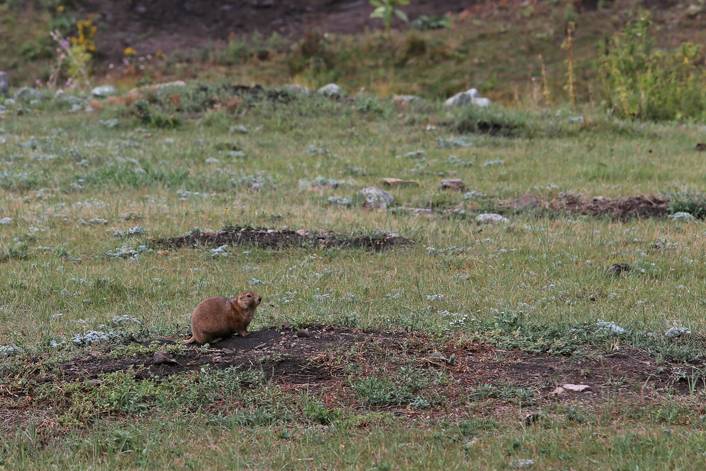 September 17, 2017 - Custer State Park, Wildlife Loop Road. Prairie Dog.