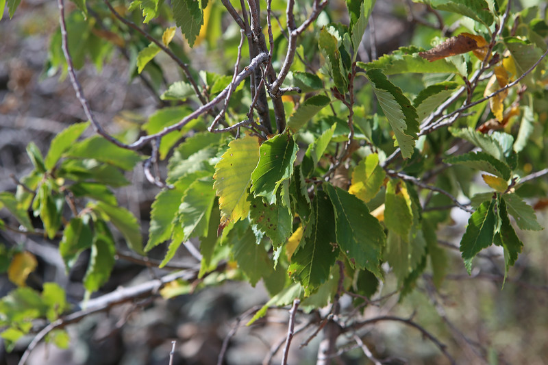 September 22, 2017 - Hike up Bear Butte, north of Sturgis. American Elm half way up the mountain.