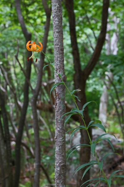 Appalachian Trail near Timber Hollow Overlook - Turk's Cap Lily (Lilium superbum)