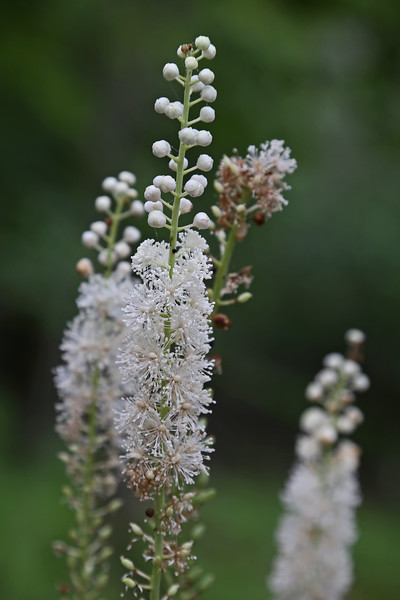 Appalachian Trail near Big Meadows - Black Cohosh (Actaea racemosa )