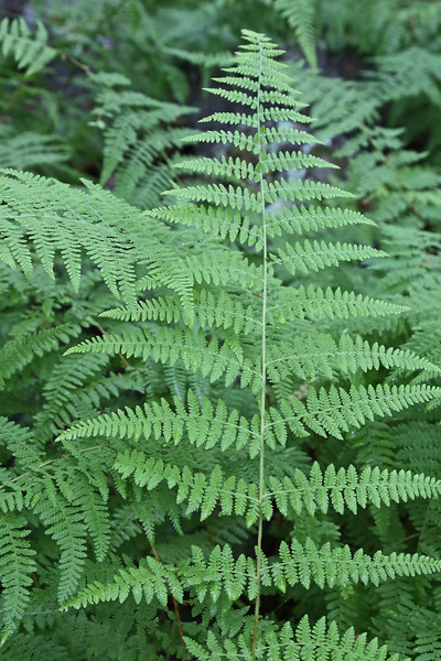 Appalachian Trail near Timber Hollow Overlook - common lady-fern (Athyrium filix-femina)