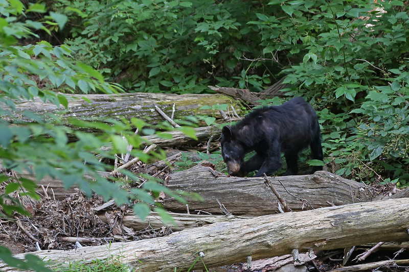 Black bear cub along the Dark Hollow Falls Trail