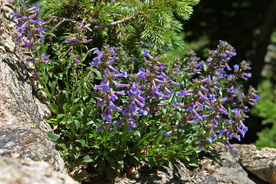 Bear Lake area, along trail to Emerald Lake. Blue Penstemon - Penstemon cyaneus.
