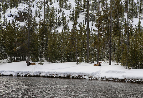 ZZephyr Adventures. February 19, 2014. Elk along the Firehole River south of Madison, Yellowstone National Park.