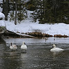 Zephyr Adventures. February 17, 2014. Trumpeter Swans in the Firehole River south of Madison, Yellowstone National Park.
