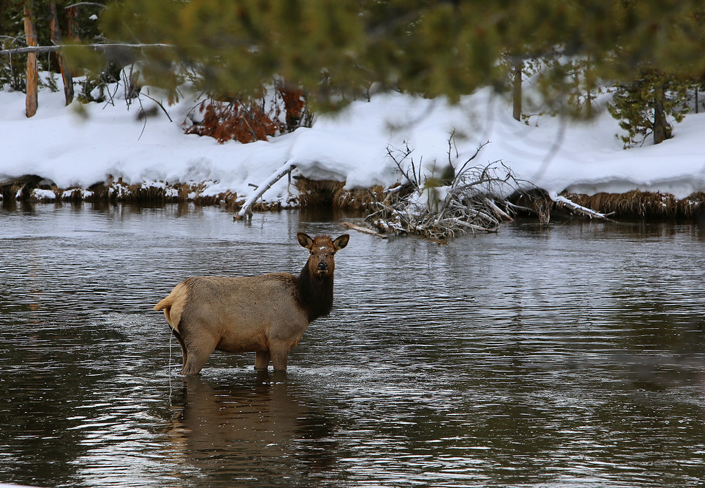 Zephyr Adventures. February 17, 2014. Elk along the Firehole River south of Madison, Yellowstone National Park.
