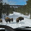 Zephyr Adventures. February 19, 2014. Bison on Grand Loop Road south of Madison, Yellowstone National Park.
