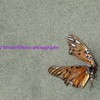 last dance of the butterfly