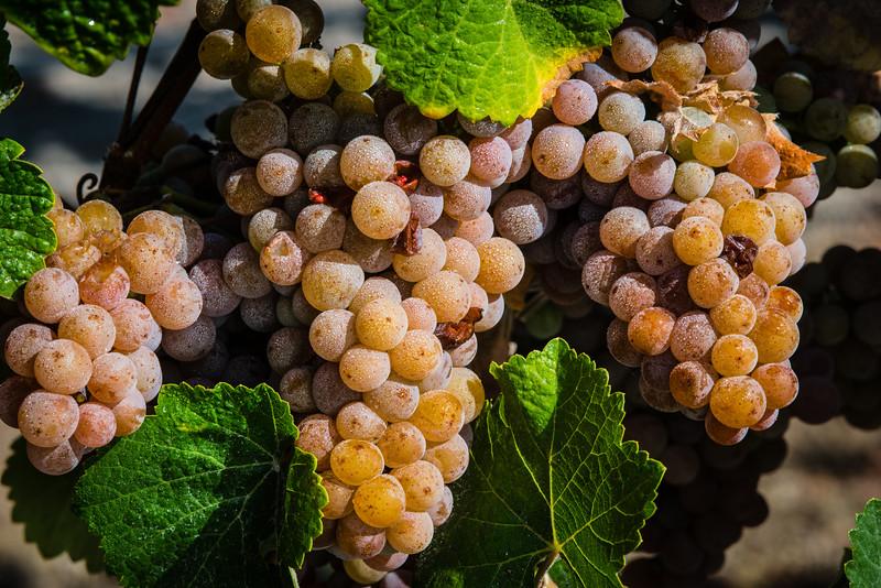 Grapes, Sonoma County