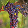 Cabernet grapes