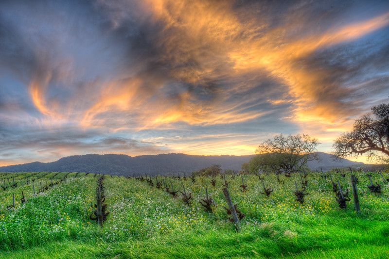 Suneset in Vineyard, Sonoma County