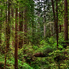 Panorama, Redwood Forest, Redwood Nat'l Park