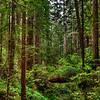 Panorama, Redwood Forest, Redwood Nat'l Park