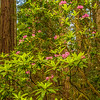 Redwoods with flowering rhododendron